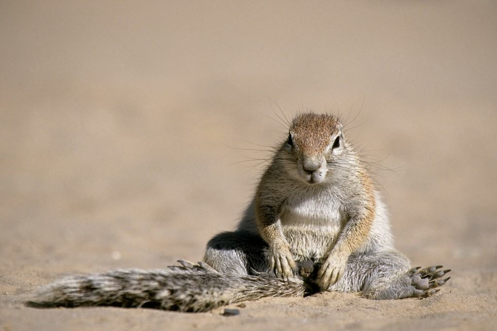 Cape Ground Squirrel (Xerus inauris) sitting in the sun