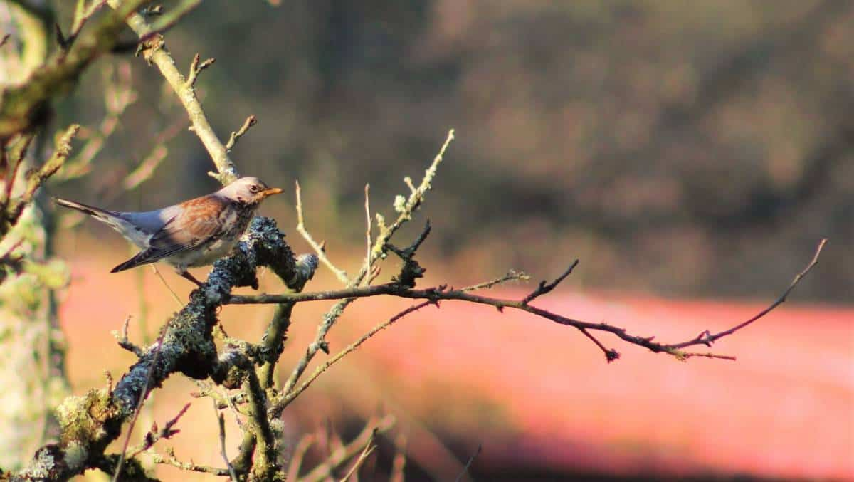 A Redwing Looks Out