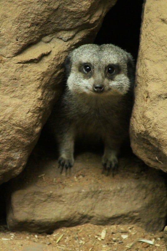 An Apprehensive Meerkat