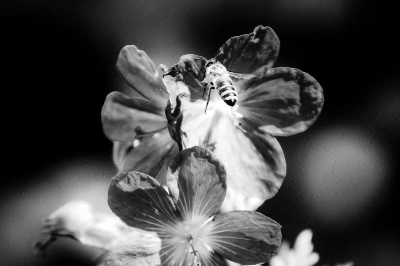 Black and white bee 7 (1 of 1)