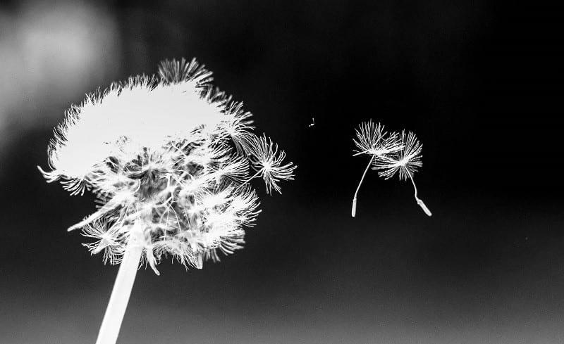 Dancing Dandelion Seeds