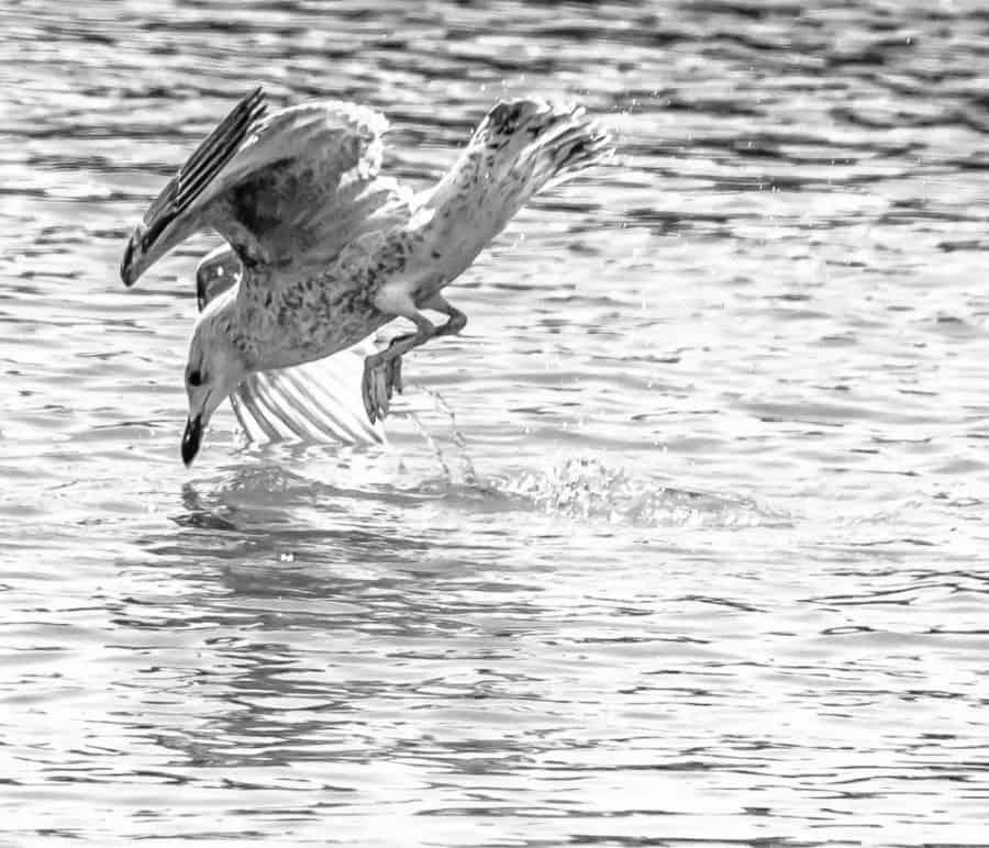 A Diving Gull