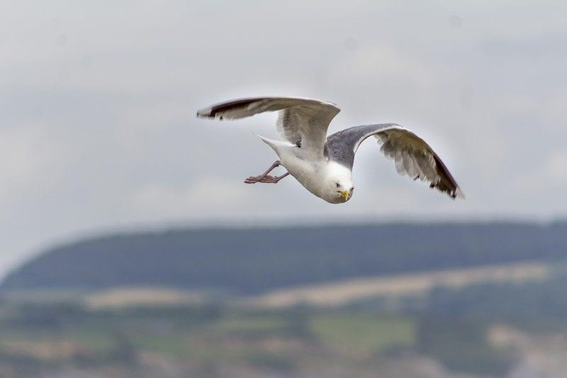 Seagull at Lyme Regis 2