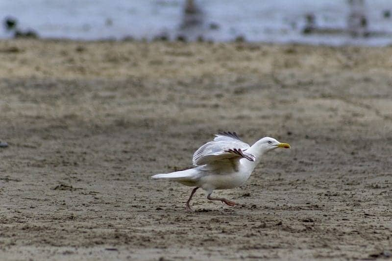 Seagull at Lyme Regis 3