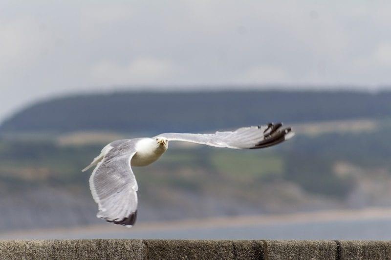 Seagull at Lyme Regis 4