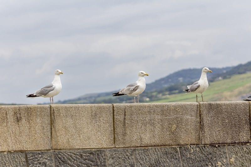 Seagull at Lyme Regis 5