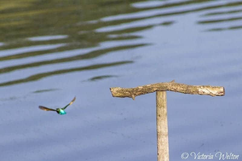 A Kingfisher flys away at Chard Reservoir by Victoria Welton