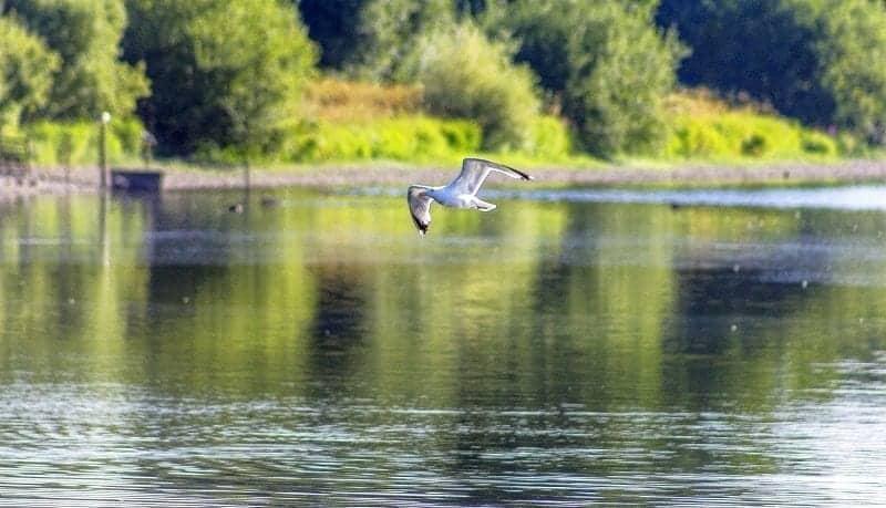A gull over Chard Reservoir August 2016