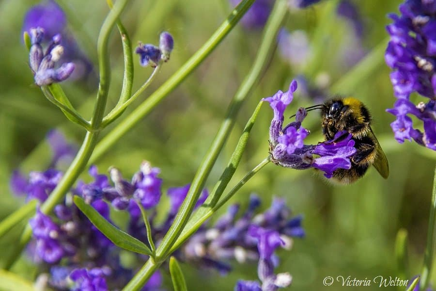 Loving the Lavender