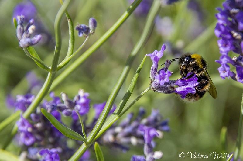 Bee on Lavender 5