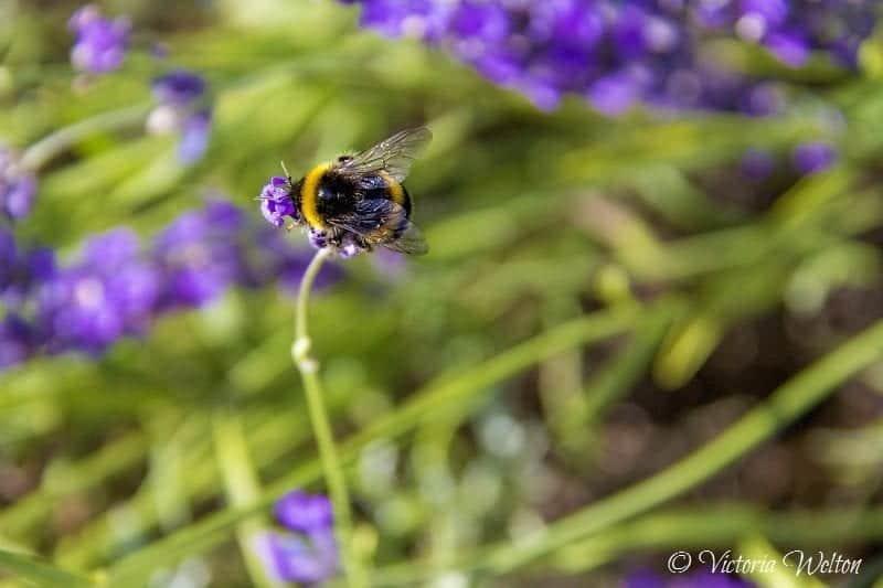 Bee on Lavender 6