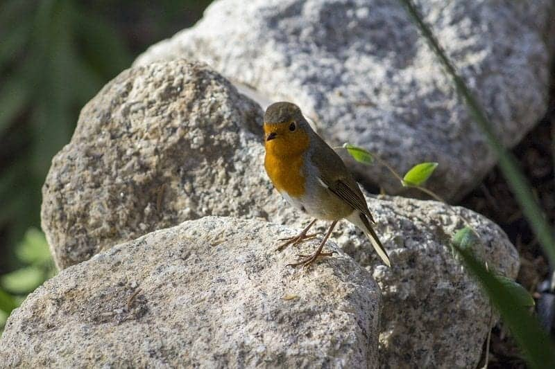 a-robin-at-the-eden-project-4