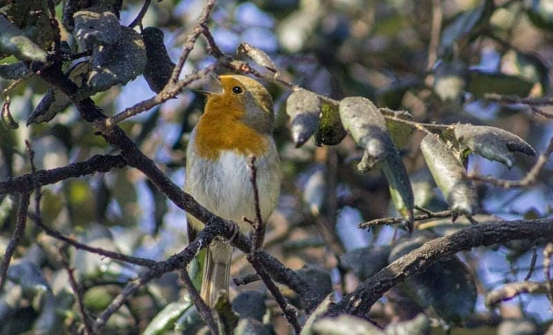a-robin-at-the-eden-project