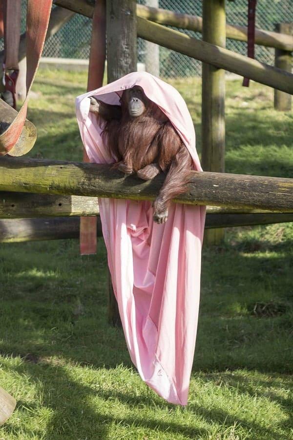 Orangutan Hide and Seek